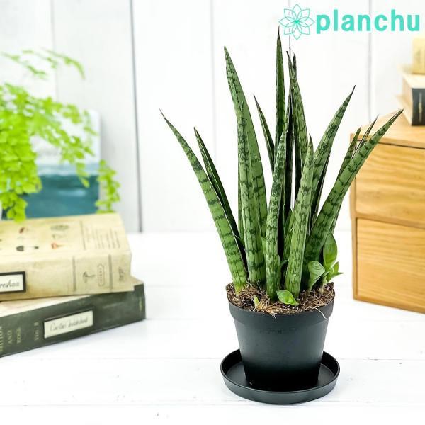 多肉植物 サンスベリア レディチャーム ミカドタイプ 3号ポット Sansevieria|planchu