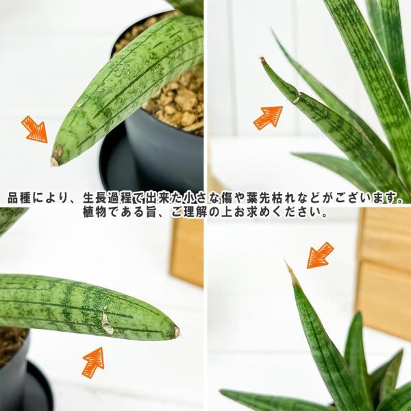 多肉植物 サンスベリア レディチャーム ミカドタイプ 3号ポット Sansevieria|planchu|03