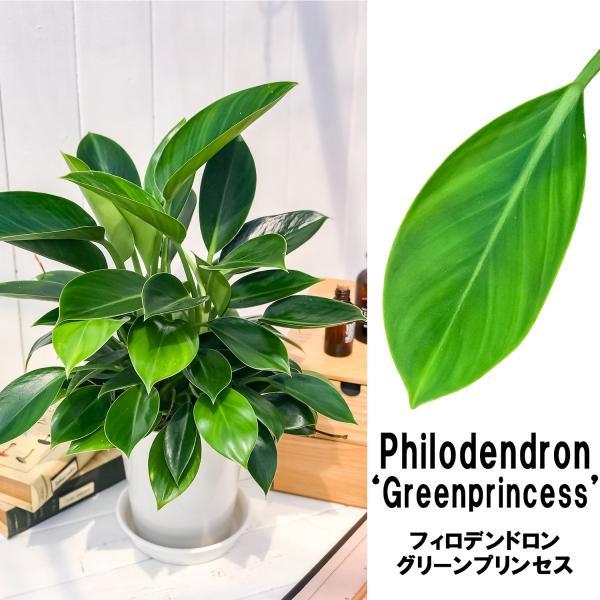 観葉植物 フィロデンドロン グリーンプリンセス 6号鉢 Philodendron 'Green Princess' planchu