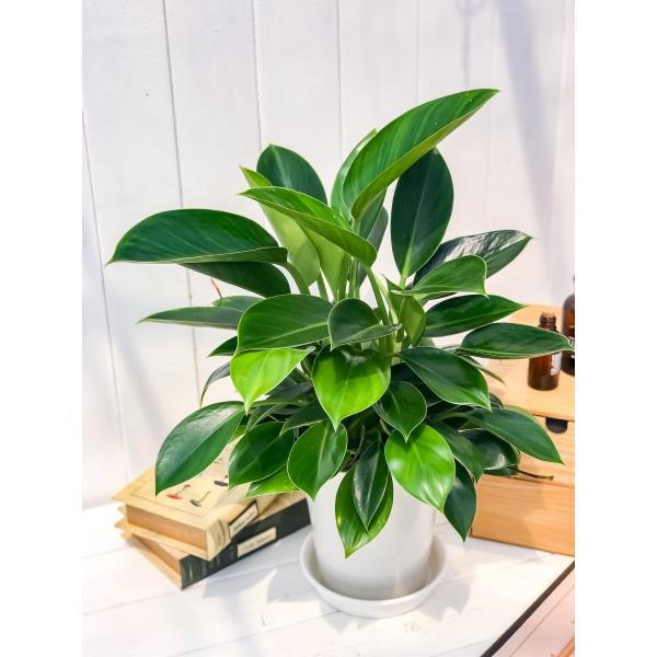 観葉植物 フィロデンドロン グリーンプリンセス 6号鉢 Philodendron 'Green Princess' planchu 02