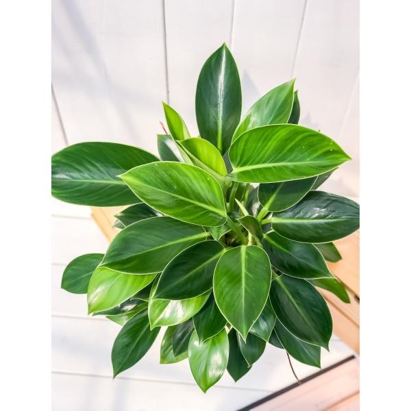 観葉植物 フィロデンドロン グリーンプリンセス 6号鉢 Philodendron 'Green Princess' planchu 03