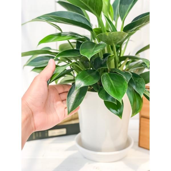 観葉植物 フィロデンドロン グリーンプリンセス 6号鉢 Philodendron 'Green Princess' planchu 04