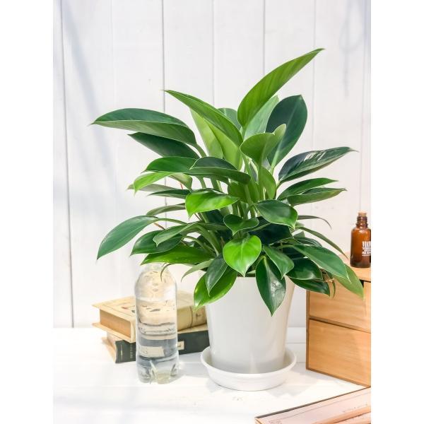 観葉植物 フィロデンドロン グリーンプリンセス 6号鉢 Philodendron 'Green Princess' planchu 05