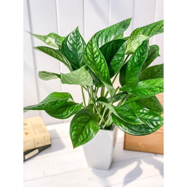 観葉植物 モンステラ ジェイドシャトルコック 4号鉢 Monstera karsteniana `Jade Shuttlecock' planchu