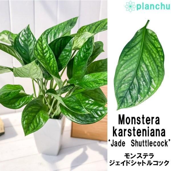 観葉植物 モンステラ ジェイドシャトルコック 4号鉢 Monstera karsteniana `Jade Shuttlecock' planchu 02