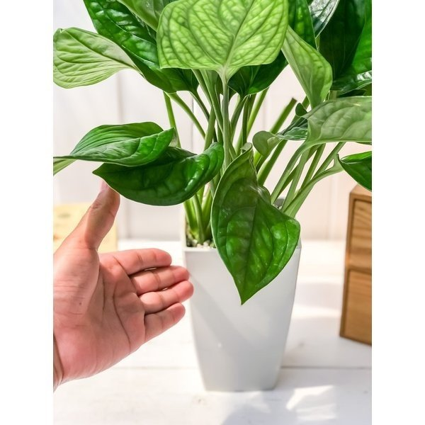 観葉植物 モンステラ ジェイドシャトルコック 4号鉢 Monstera karsteniana `Jade Shuttlecock' planchu 04