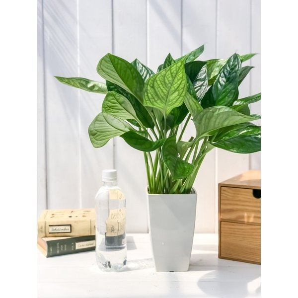 観葉植物 モンステラ ジェイドシャトルコック 4号鉢 Monstera karsteniana `Jade Shuttlecock' planchu 05