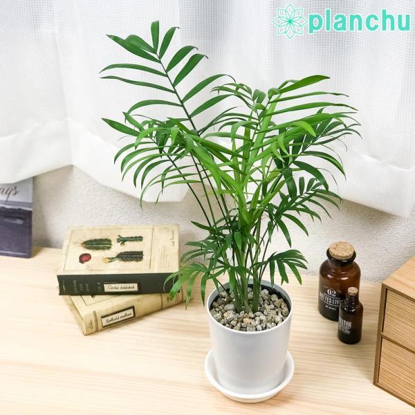 観葉植物 テーブルヤシ チャメドレア エレガンス 4号鉢 受け皿付き Chamaedorea elegans|planchu