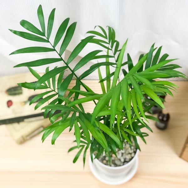 観葉植物 テーブルヤシ チャメドレア エレガンス 4号鉢 受け皿付き Chamaedorea elegans|planchu|02