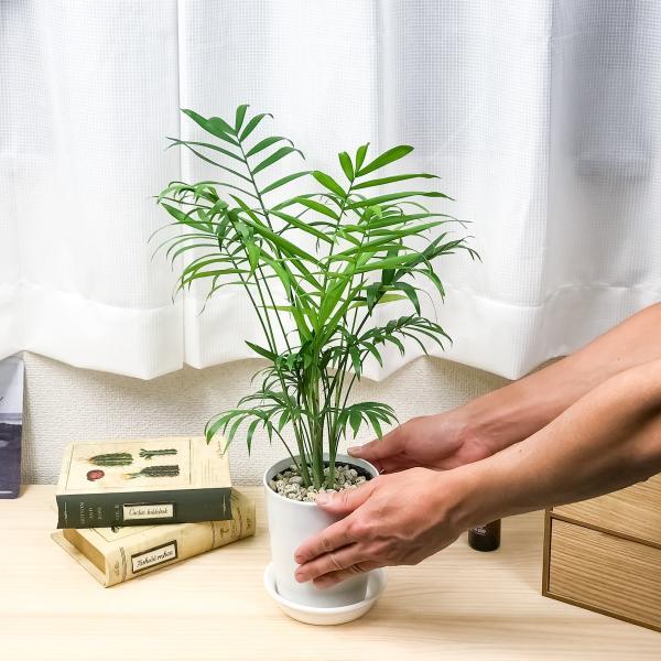 観葉植物 テーブルヤシ チャメドレア エレガンス 4号鉢 受け皿付き Chamaedorea elegans|planchu|03