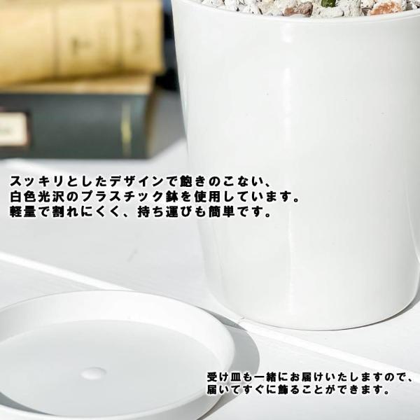 観葉植物 テーブルヤシ チャメドレア エレガンス 4号鉢 受け皿付き Chamaedorea elegans|planchu|04