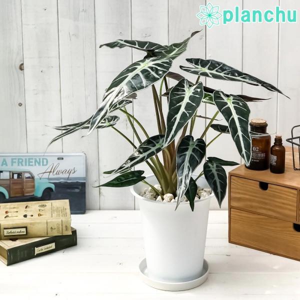 観葉植物 アロカシア バンビーノ アロー 6号鉢 受け皿付き 育て方説明書付き Alocasia 'Bambino Arrow' アローカシア planchu