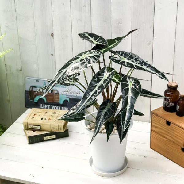 観葉植物 アロカシア バンビーノ アロー 6号鉢 受け皿付き 育て方説明書付き Alocasia 'Bambino Arrow' アローカシア planchu 02