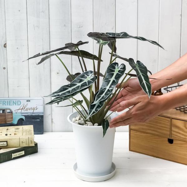 観葉植物 アロカシア バンビーノ アロー 6号鉢 受け皿付き 育て方説明書付き Alocasia 'Bambino Arrow' アローカシア planchu 05