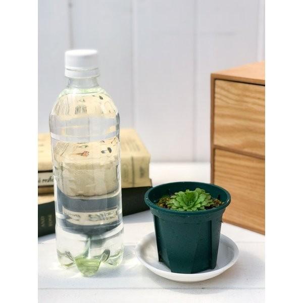 食虫植物 ムシトリスミレ ピンギキュラ 福娘 2.5号鉢 Pinguicula planchu 03