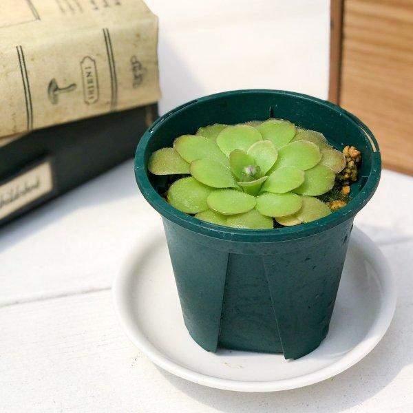 食虫植物 ムシトリスミレ ピンギキュラ 朧月 2.5号鉢 Pinguicula planchu
