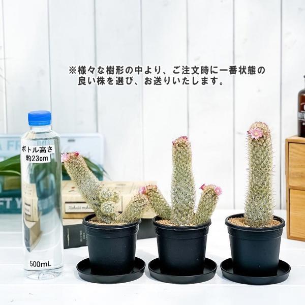 サボテン マミラリア ピンクニンフ 3号鉢 Mammillaria 'Pink Nymph'|planchu|04