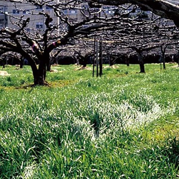 種 10kg マンモスイタリアンB (ビリケン) イタリアンライグラス 緑肥 イネ科作物 雪印種苗 米S 代引不可