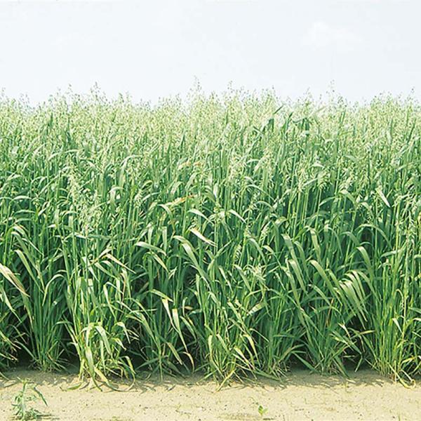 種 10kg エンバク ニューオールマイティ 中生 酪農 畜産 緑肥 播種期:2〜11月 えん麦 雪印種苗 米S 代引不可