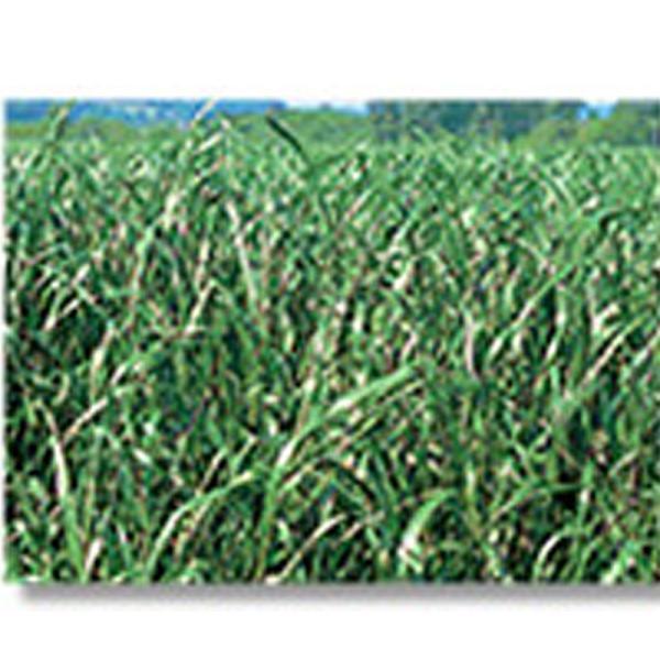 芝 草 種 ペレニアルライグラス 種 1kg 種のみの販売 侵食防止 緑化 法面 種子 紅大 共B 代引不可 個人宅配送不可