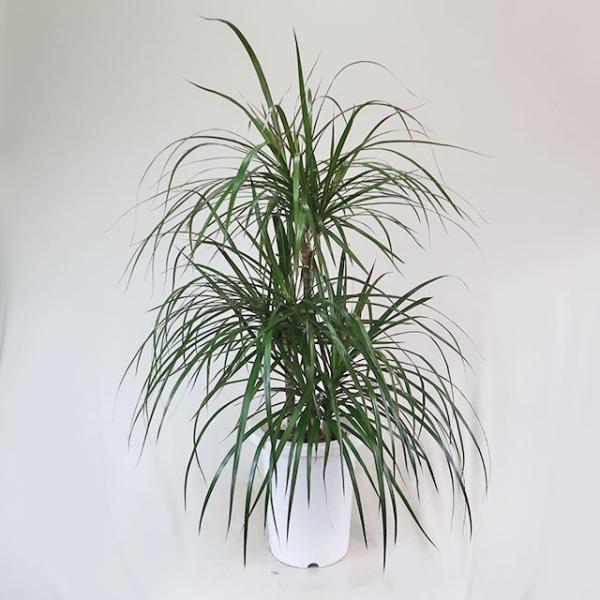 観葉植物 コンシンネ・マジナータ ドラセナ 7号鉢 アウトレット セール 自家用 ギフト不可