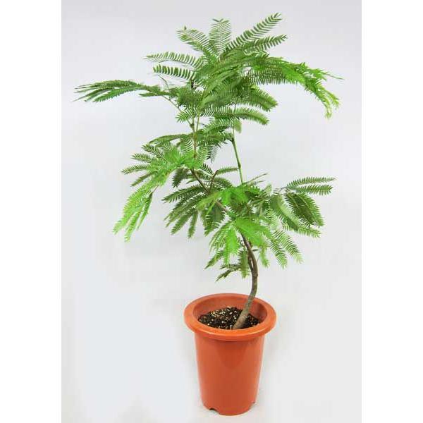RoomClip商品情報 - 観葉植物 エバーフレッシュ 6号 ネムノキ