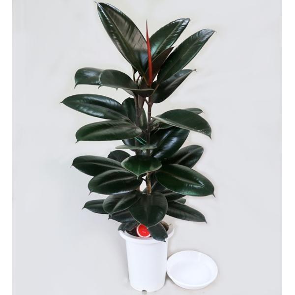 観葉植物 フィカス・バーガンディ クロゴム 黒ゴム 7号 ゴムの木 受皿付