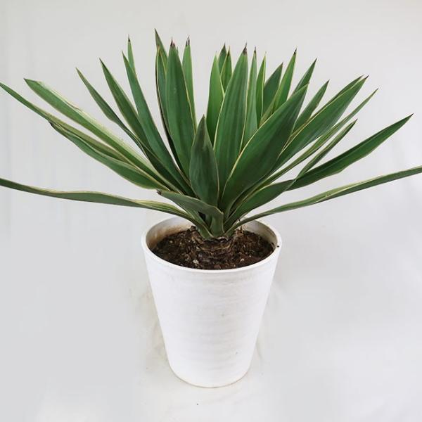 観葉植物  斑入りユッカ グロリオサ  8号鉢 常緑低木 現品1鉢 カラーリーフ
