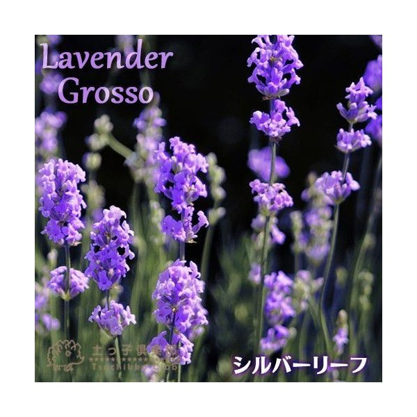 ラベンダー 『 グロッソ 』 9cmポット苗 2個組|produce87