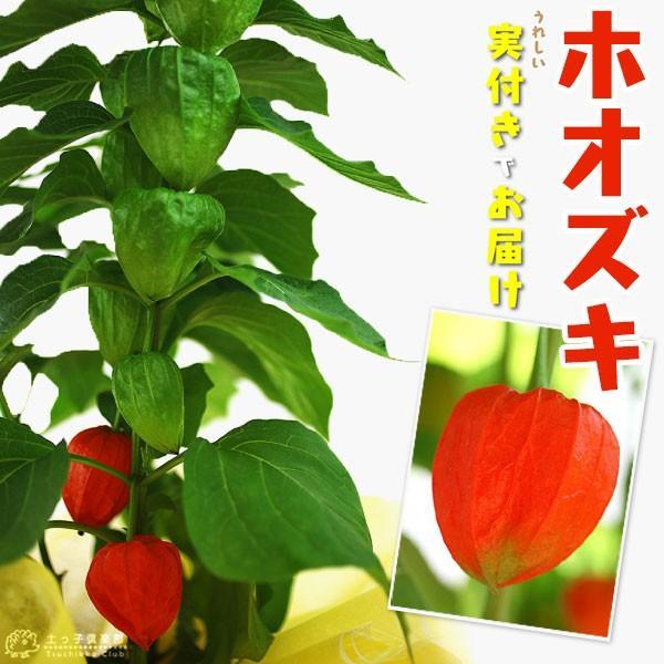 実付き 『 ほおずき ( ホオズキ ) 』 5号鉢植え