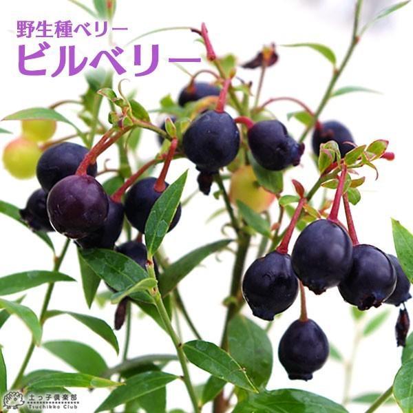 野生種 ブルーベリー 『 ビルベリー 』 15cmポット苗|produce87