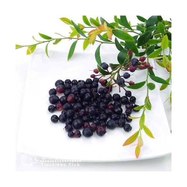 野生種 ブルーベリー 『 ビルベリー 』 15cmポット苗|produce87|03