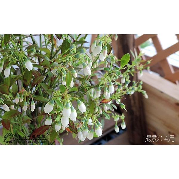 野生種 ブルーベリー 『 ビルベリー 』 15cmポット苗|produce87|04