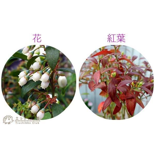 野生種 ブルーベリー 『 ビルベリー 』 15cmポット苗|produce87|05