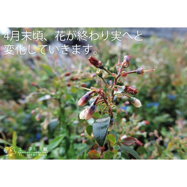 野生種 ブルーベリー 『 ビルベリー 』 15cmポット苗|produce87|06