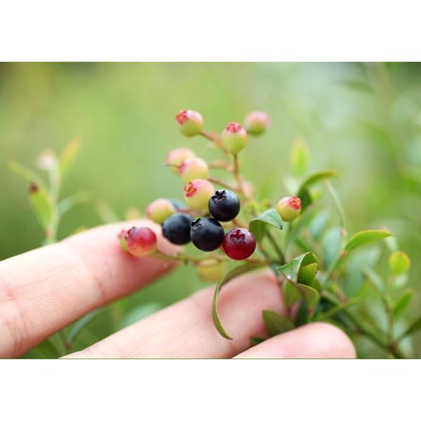 野生種 ブルーベリー 『 ビルベリー 』 15cmポット苗|produce87|07