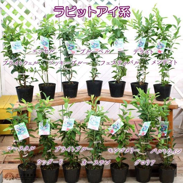 ブルーベリー 2個セット 苗木 (3年生)4.5号ポット苗 送料無料 (選べる品種) produce87 02
