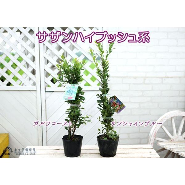 ブルーベリー 2個セット 苗木 (3年生)4.5号ポット苗 送料無料 (選べる品種) produce87 03