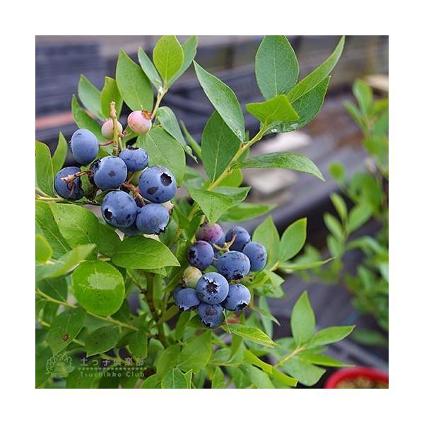 ブルーベリー 2個セット 苗木 (3年生)4.5号ポット苗 送料無料 (選べる品種) produce87 05