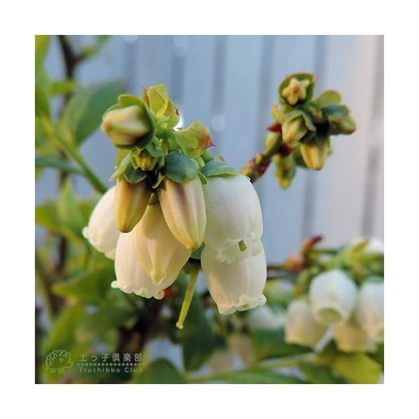 ブルーベリー 2個セット 苗木 (3年生)4.5号ポット苗 送料無料 (選べる品種) produce87 06