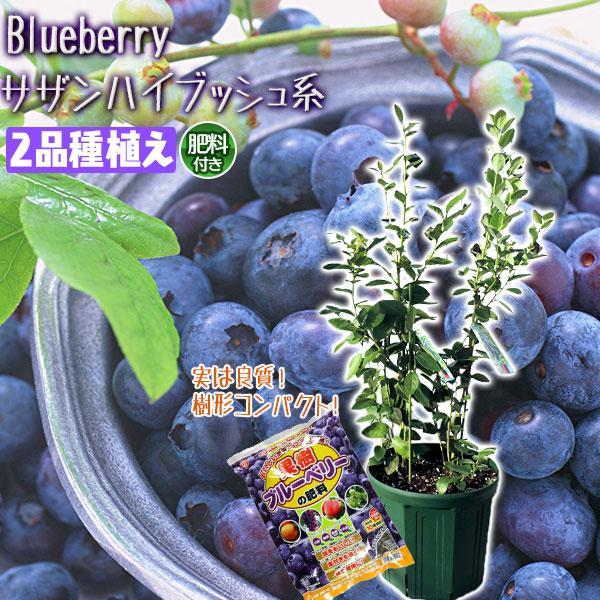 ブルーベリー 『 サザンハイブッシュ系 2品種植え 』 (3年生) 8号スリット鉢 (肥料プレゼント) produce87