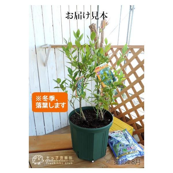 ブルーベリー 『 サザンハイブッシュ系 2品種植え 』 (3年生) 8号スリット鉢 (肥料プレゼント) produce87 02