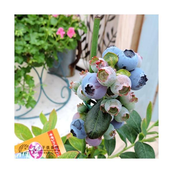 ブルーベリー 『 サザンハイブッシュ系 2品種植え 』 (3年生) 8号スリット鉢 (肥料プレゼント) produce87 03