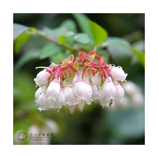 ブルーベリー 『 サザンハイブッシュ系 2品種植え 』 (3年生) 8号スリット鉢 (肥料プレゼント) produce87 04