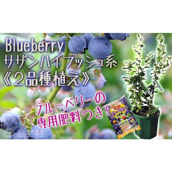 ブルーベリー 『 サザンハイブッシュ系 2品種植え 』 (3年生) 8号スリット鉢 (肥料プレゼント) produce87 05