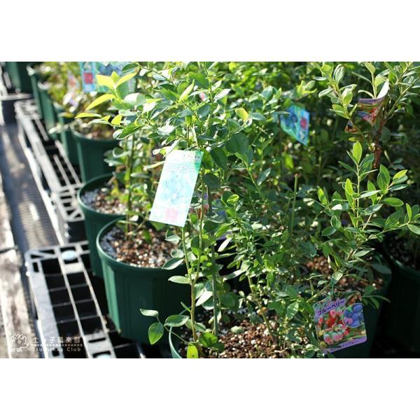 ブルーベリー 『 サザンハイブッシュ系 2品種植え 』 (3年生) 8号スリット鉢 (肥料プレゼント) produce87 06