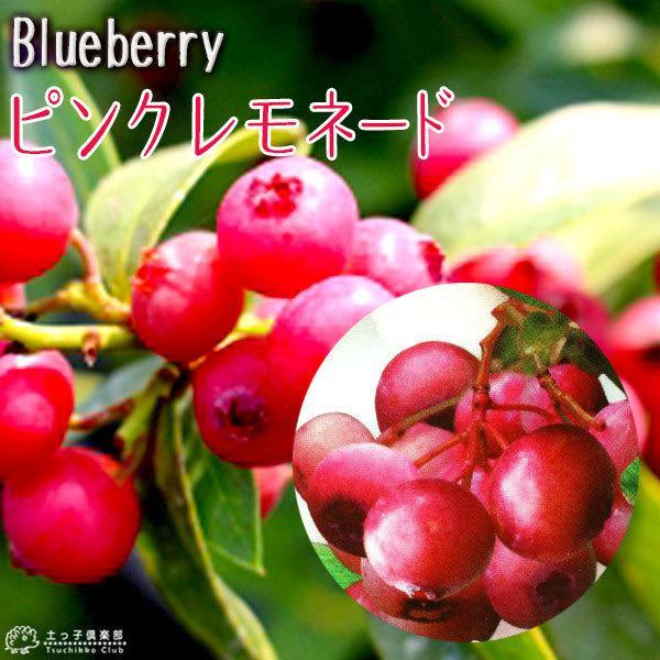 ブルーベリー 『 ピンクレモネード 』 2年生 10.5cmポット苗|produce87