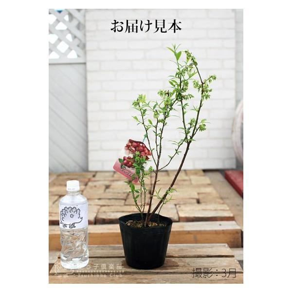 ブルーベリー 『 ピンクレモネード 』 2年生 10.5cmポット苗|produce87|02