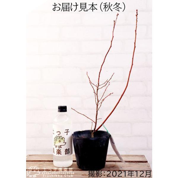 ブルーベリー 『 ピンクレモネード 』 2年生 10.5cmポット苗|produce87|03