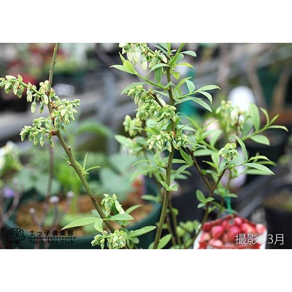 ブルーベリー 『 ピンクレモネード 』 2年生 10.5cmポット苗|produce87|05